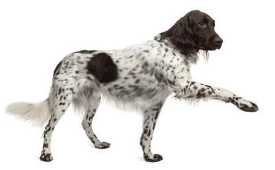 ポインティングのポーズの犬