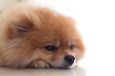 眠そうなポメラニアンの顔アップ