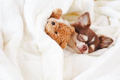 ぬいぐるみと一緒に眠るチワワ