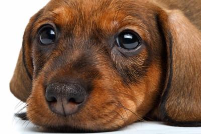 茶色い子犬のアップ
