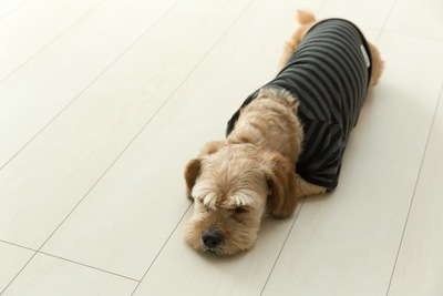 フローリングの上で休む服を着た垂れ耳の犬