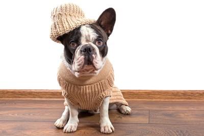 セーターを着ているフレンチブル