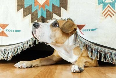 布から顔だけを出して見上げている犬