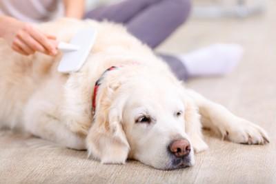 飼い主にブラッシングされてリラックスしている犬