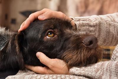 飼い主の膝に顔を乗せて甘える犬