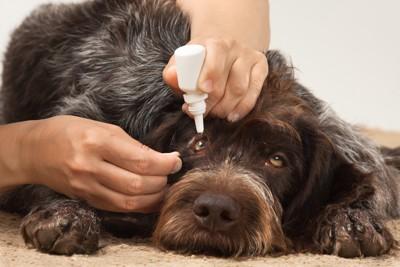 点眼薬をさされる犬
