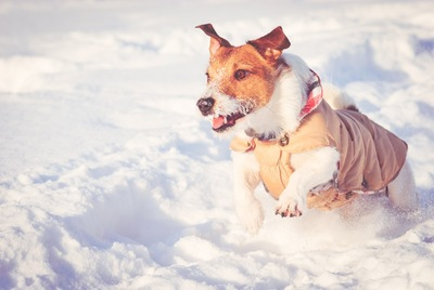 防寒具を着用して走る犬