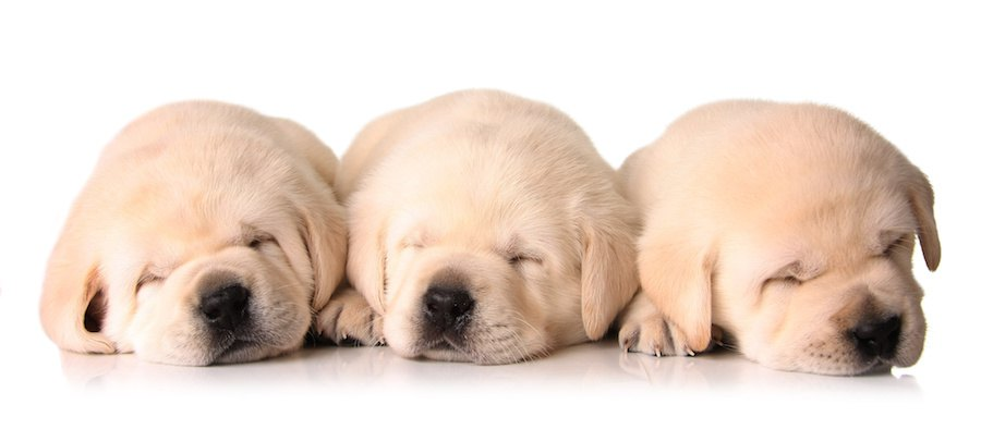 寄り添って眠る3頭の子犬