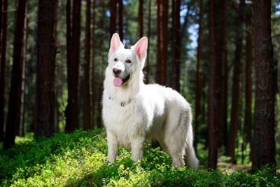 森の中のホワイトシェパード