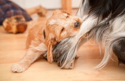 毛を噛んでいる子犬