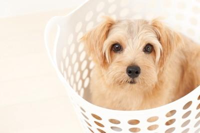 洗濯かごに入った犬