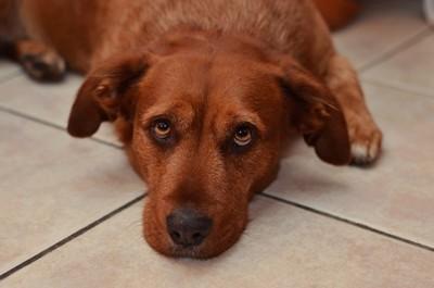 床に伏せて元気のない犬