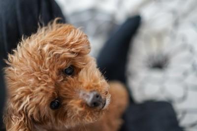 上を見上げる飼い主の膝の上に座った犬