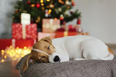 クリスマスツリーをバックに眠るジャック・ラッセル・テリア