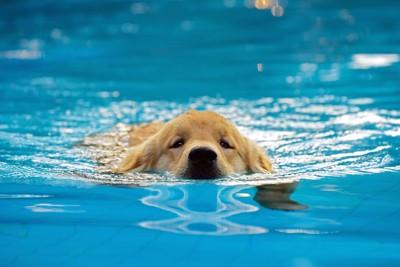 プールで泳ぐゴールデンレトリバーの子犬