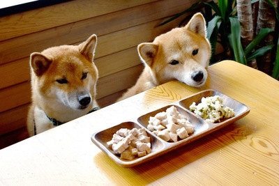 テーブルの上の食事を待つ二匹の柴犬