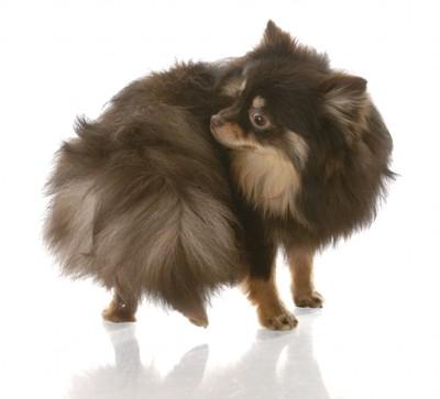 自分の尻尾を気にする犬