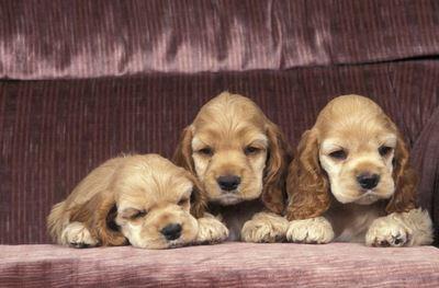 ソファーの上でくつろぐ3匹のアメリカンコッカースパニエルの幼犬