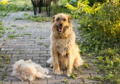 大量の抜け毛と犬