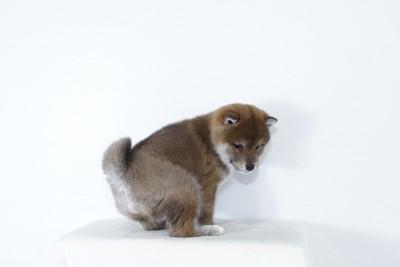 柴の子犬のウンチポーズ