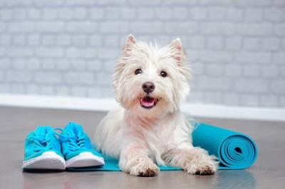 青いヨガマットの上の白い犬