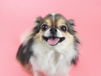 笑顔のチワワ、ピンクの背景