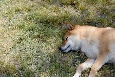 芝生に寝転ぶ柴犬