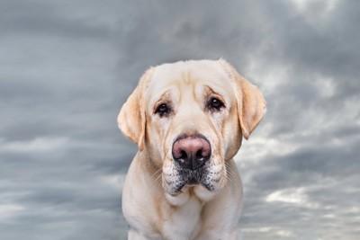 こちらを見ている悲しそうな様子の犬
