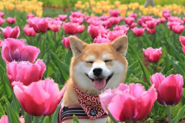 愛犬きなこの幸せ顔