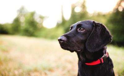 赤い首輪をした黒い犬の横顔