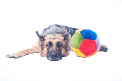 ボールのオモチャと伏せる犬