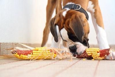 2本のトウモロコシを食べるボクサー犬