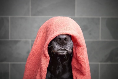 頭からタオルをかぶった黒い犬