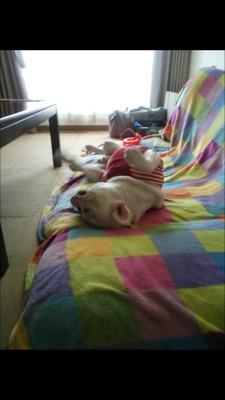 ソファで転がって眠る犬