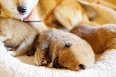 母犬に見守られて眠る子犬