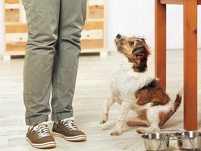 飼い主からご飯を待つ犬