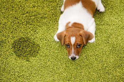 緑色のカーペットを汚してしまった子犬