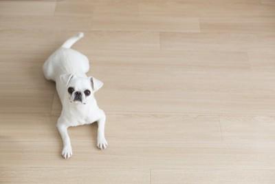 フローリングに伏せをしている白い垂れ耳の犬