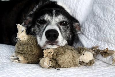 毛布に包まって寝ている犬