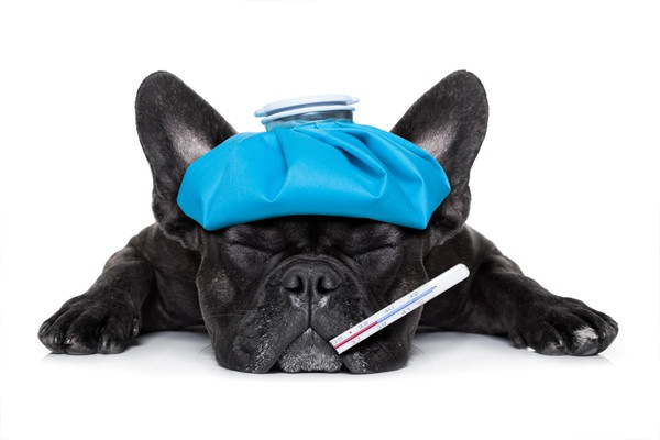 体温計をくわえている犬
