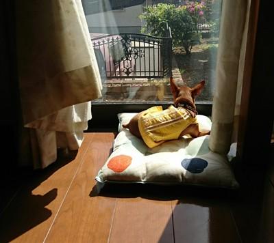 窓の所のミニピン