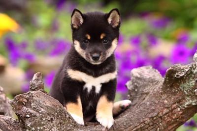 黒柴の子犬