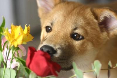 花の匂いを嗅ぐ子犬