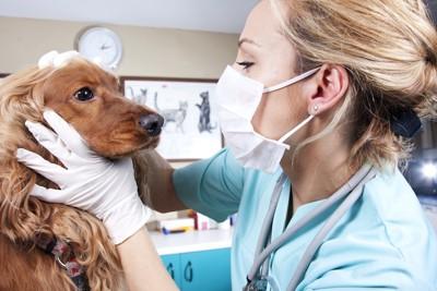 獣医師に診察される犬