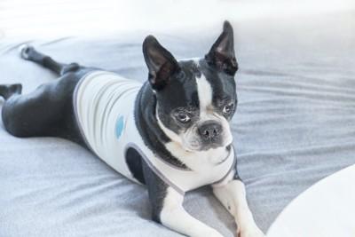視線をそらしてベッドの上に伏せる犬