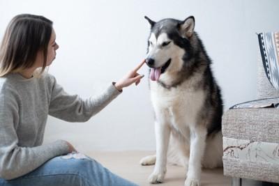 叱られるハスキー犬