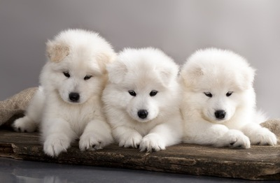 44082971 サモエド子犬