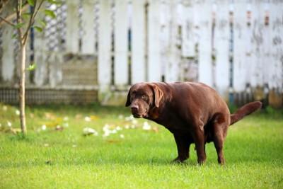 うんちをする犬