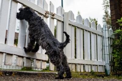 柵の外を見つめる犬