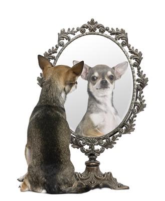 置き鏡に映るチワワ